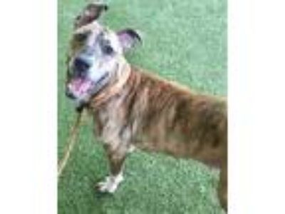 Adopt Dora a Tan/Yellow/Fawn American Pit Bull Terrier / Mixed dog in