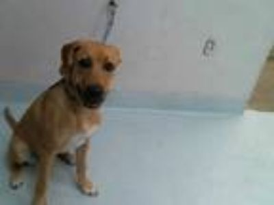 Adopt MAYA a Tan/Yellow/Fawn - with White Labrador Retriever / Mixed dog in