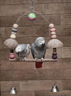 Grey Parrots in the Wild