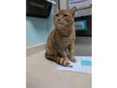 Adopt Biggie a Orange or Red Domestic Shorthair / Mixed (short coat) cat in