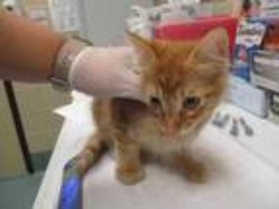 Adopt Derek a Orange or Red Domestic Shorthair / Domestic Shorthair / Mixed cat