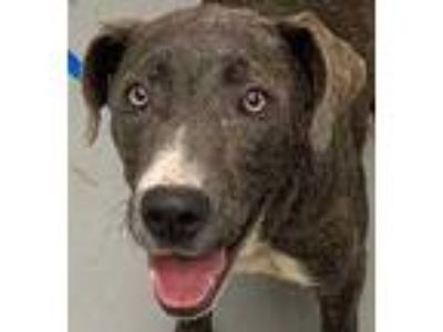 Adopt Gingher a Gray/Blue/Silver/Salt & Pepper Mixed Breed (Large) / Mixed dog