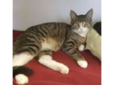 Adopt Miranda a Domestic Short Hair