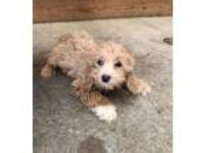 Adopt Jenny a Tan/Yellow/Fawn - with White Cockapoo dog in Manhattan