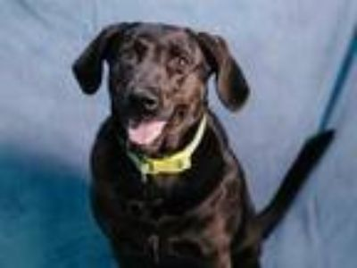 Adopt DOVAH a Black Labrador Retriever / Mixed dog in Fort Wayne, IN (25321948)