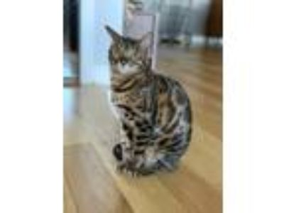 Adopt Max a Brown or Chocolate Bengal cat in Norridge, IL (25307666)