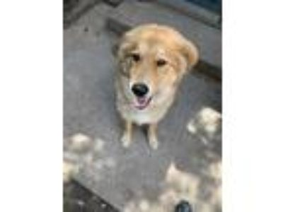 Adopt Nuggett a Tan/Yellow/Fawn Husky / Labrador Retriever dog in Duncanville