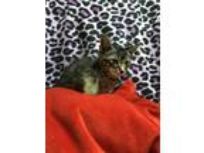 Adopt Colby a Gray or Blue Domestic Shorthair / Domestic Shorthair / Mixed cat