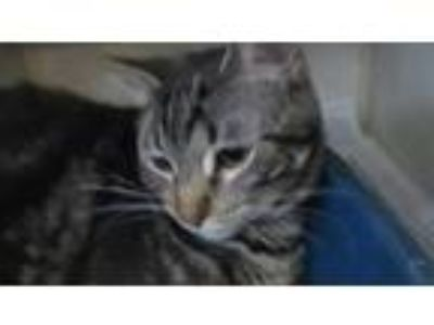 Adopt Harley a Domestic Shorthair / Mixed cat in Homer Glen, IL (25380042)