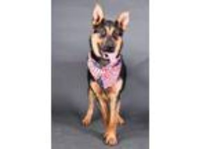 Adopt Elk a German Shepherd Dog, Mixed Breed