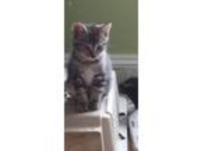 Adopt Mikayla kittens a Domestic Short Hair