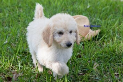 Labradoodle PUPPY FOR SALE ADN-74532 - Labradoodle Puppies F1b CKC registered