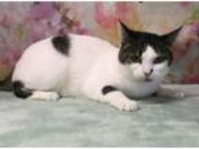 Adopt SONET a Domestic Short Hair