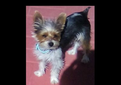 Yorkie Parti male 6 mo.  4lb adult weight not nutered