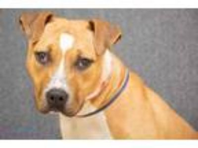 Adopt Ripley a Tan/Yellow/Fawn American Pit Bull Terrier / Mixed dog in