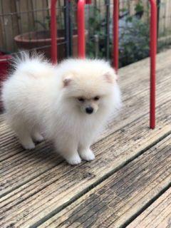 Proven Lilac Pomeranian Stud