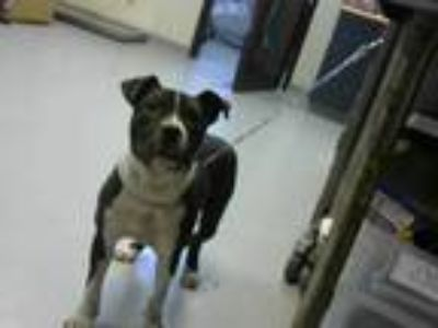 Adopt LUCKY a Black - with White American Pit Bull Terrier / Mixed dog in