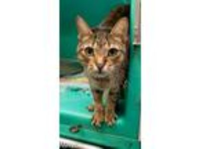 Adopt Avail 6/11 Nobby Cage3 5yr Click 4 Info a Domestic Short Hair