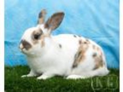 Adopt Beans a Other/Unknown / Mixed (short coat) rabbit in Pflugerville