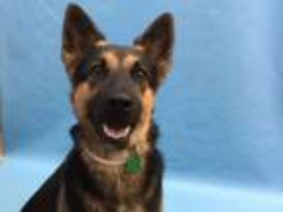Adopt Maebelle a German Shepherd Dog, Mixed Breed