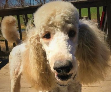 AKC Standard Poodle Apricot Big Male-Michigan