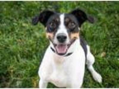 Adopt Iago a White Jack Russell Terrier / Mixed dog in Oak Pak, IL (25894600)
