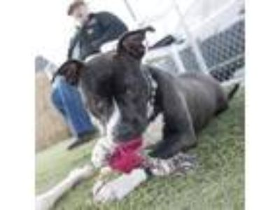 Adopt 19-124 Jaag a Pit Bull Terrier / Mixed dog in Aberdeen, WA (25006078)