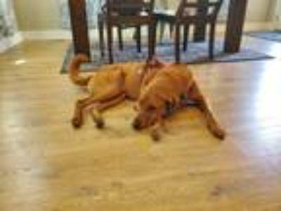 Adopt Bowser a Red/Golden/Orange/Chestnut Golden Retriever / Bloodhound / Mixed