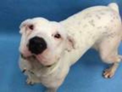 Adopt Katey a White American Pit Bull Terrier / Mixed dog in Golden Valley