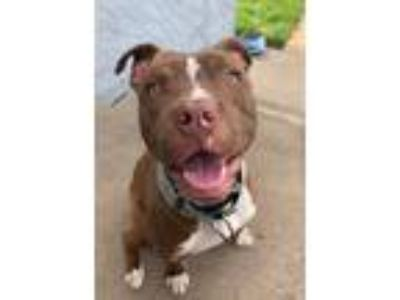 Adopt Titan a Pit Bull Terrier, Mixed Breed