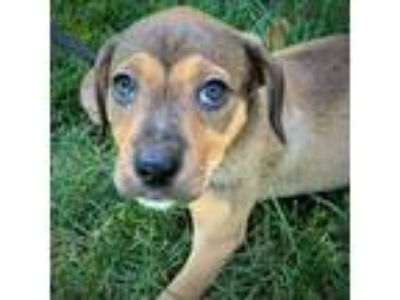Adopt Cadpig a Red/Golden/Orange/Chestnut Mixed Breed (Medium) / Mixed dog in