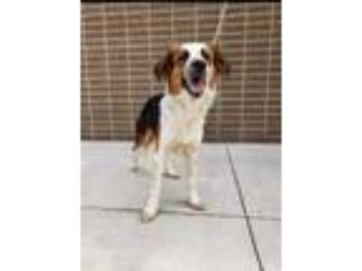 Adopt Redford a Red/Golden/Orange/Chestnut Border Collie / Mixed dog in Justin