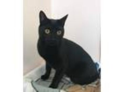 Adopt Spaghetti a Domestic Short Hair