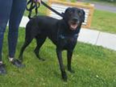 Adopt CHAZZ a Black Labrador Retriever / Mixed dog in Murray, UT (25317327)