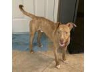 Adopt Bauer a Brown/Chocolate - with White Pit Bull Terrier / Mixed dog in