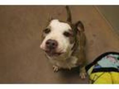 Adopt LOLA a Brindle - with White American Pit Bull Terrier / Mixed dog in