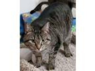 Adopt Dani a Domestic Short Hair