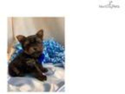 Micro yorkshire terrier Dex