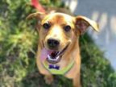 Adopt Ginger a Dachshund, Jack Russell Terrier