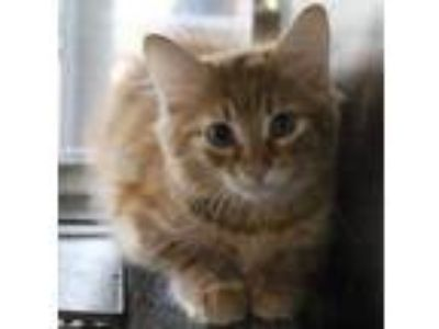 Adopt O-2 a Orange or Red Domestic Mediumhair / Domestic Shorthair / Mixed cat