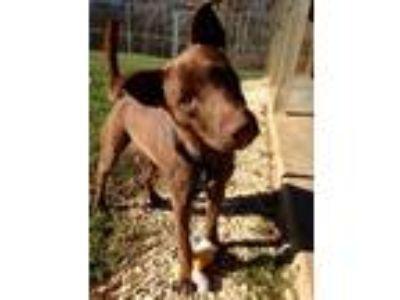 Adopt Toby a Labrador Retriever, Australian Cattle Dog / Blue Heeler