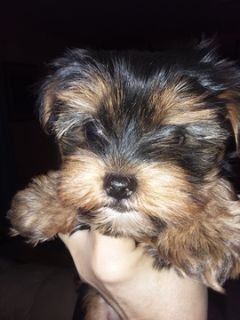Yorkshire Terrier PUPPY FOR SALE ADN-103080 - Yorkshire Terrier