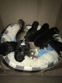 German Shepherd Dog-Huskimo Mix PUPPY FOR SALE ADN-108871 - Puppies must go