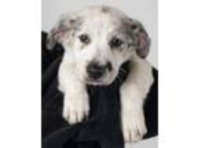Adopt Amarillo Puppy Foster Needed 5/18 a Australian Cattle Dog / Blue Heeler