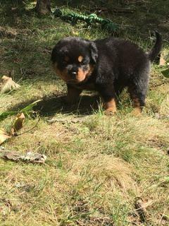 Rottweiler PUPPY FOR SALE ADN-91339 - 4 WEEK OLD MALE ROTTWEILER PUPPY