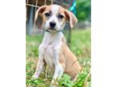 Adopt JADA a Tan/Yellow/Fawn - with White Jack Russell Terrier / Mixed dog in