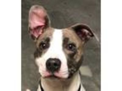 Adopt Patrice a White American Pit Bull Terrier / Mixed dog in DeKalb