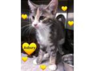 Adopt ASBURY - Very friendly Kitten! a Domestic Short Hair, Calico