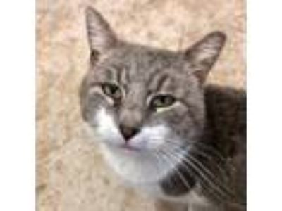 Adopt Binx a Gray, Blue or Silver Tabby Domestic Shorthair (short coat) cat in