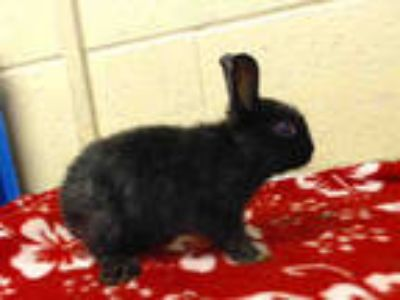 Adopt a Black Other/Unknown / Mixed rabbit in Downey, CA (25927992)